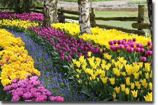 border garden of tulips